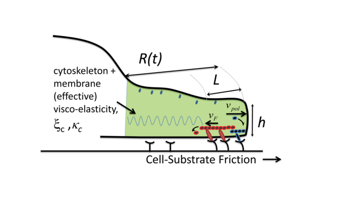 Cell spreading on elastic substrates: active mechanics and dynamics